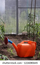 Plastic sprinkling can and young cultivar tomatoes growing in the modern arc polycarbonate greenhouse