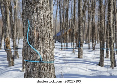 Plastic tubing attached to maple tree to collect sap