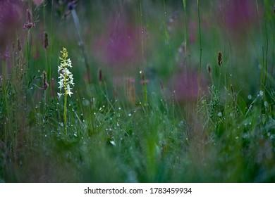 Platanthera bifolia, flowering European terrestrial wild orchid, nature habitat, detail of bloom with green clear background, Czech.