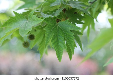 Platanus orientalis, Old World Sycamore, Oriental Plane, large deciduous tree with palmately lobed leaves and globose burr-like flower cum fruit heads, popular avenue tree