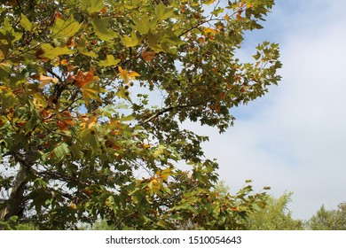 Platanus Racemosa is the taxonomical rank of a tree casually described as Western Sycamore. Native to Southern California coastal habitat, it grows in plant communities of Ballona Freshwater Marsh.