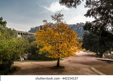 A Platanus tree in autumn yellow-orange colors in Athens, with the Acropolis in the background