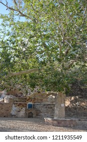 Platanus Tree in the central square in Skalia Village,Kalymnos Island,Greece. Skalia is a coastal village overlooking the islands of Telendos and Calavro.Is located in the northern  part of Kalymnos.