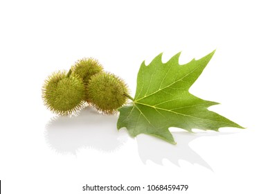 Platanus tree, sycamore leaf and blossoms isolated on white background with reflection.