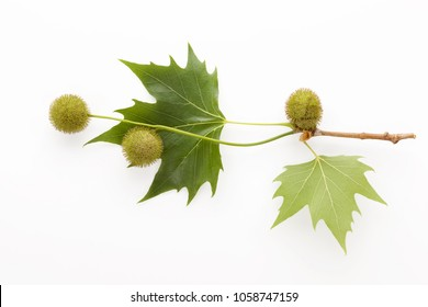 Platanus tree, sycamore leaves and flowers isolated on white background from above.