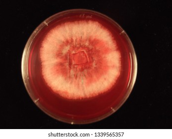 Plate assay of fungal cellulase enzyme activity