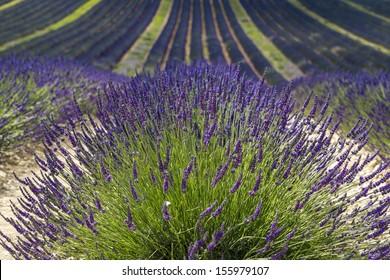 Plateau de Valensole (Alpes-de-Haute-Provence, Provence-Alpes-Cote d'Azur, France), field of lavender