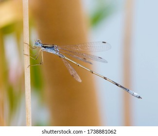 Plateau Spreadwing perched on vegetation over a pond in West Texas