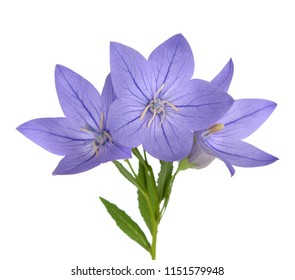 platycodon bell flower isolate on white