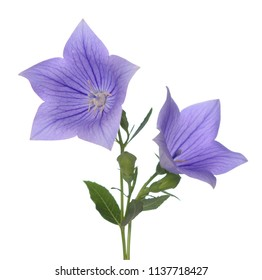 Platycodon grandiflorus flower on white