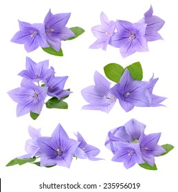 Platycodon grandiflorus flowers isolated on white background