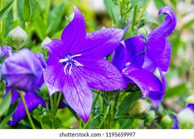 Platycodon grandiflorus violet blue flower