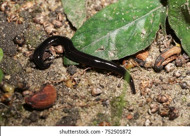 Platydemus manokwari, New Guinea flatworm, a species of large predatory land flatworm. Alien spicy eating local snail and earth worm.