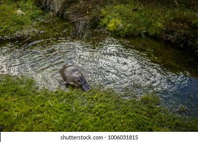 Platypus in Cradle Mountain National Park in Tasmania, Australia