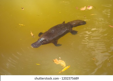 Platypus in a river from aboth