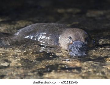 Platypus swimming in a Tasmanian creek.