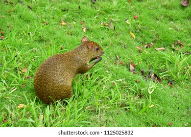 Playacar; United Mexican States - may 20 2018 : agouti in  the Viva Wyndham Maya hotel