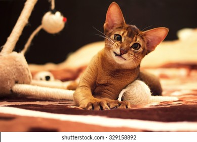 Playful abyssinian cat hunting toy mouse
