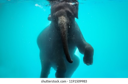 playful asian elephant bathing and diving under the water in Thailand