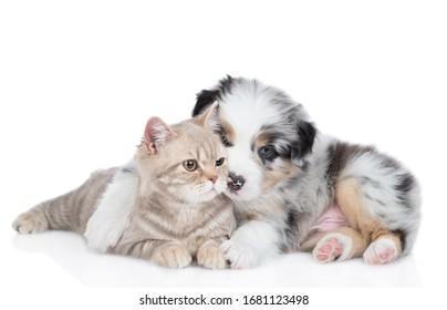 Playful Australian shepherd puppy hugs and kisses british cat. isolated on white background