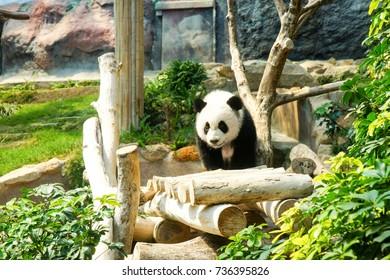 Playful baby giant panda bear in Macao Giant Panda Pavilion, Macau