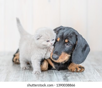 playful baby kitten with dachshund puppy on the floor at home