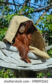 playful baby orangutan