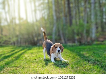 Playful beagle outside