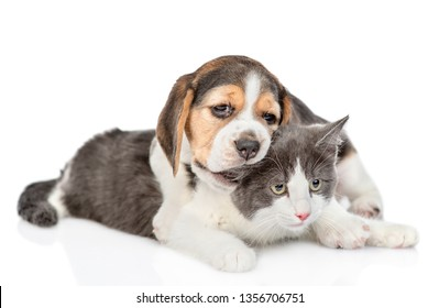 Playful beagle puppy chews cat's ear. isolated on white background