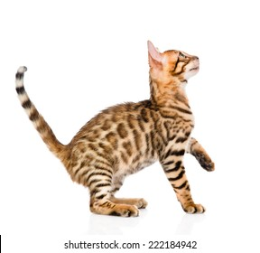 playful Bengal cat looking up. isolated on white background