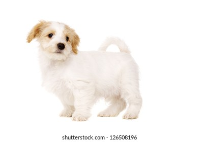 Playful Bichon Frise cross puppy stood looking around isolated on a white background