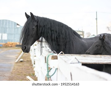 A playful black foal with a mother horse in a pasture. A little horse is standing near mother at the racetrack. Farm animals in a corral at cold spring day.
