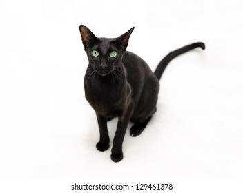 playful black oriental cat on white is watching at you
