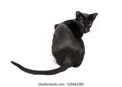 playful black oriental cat on white