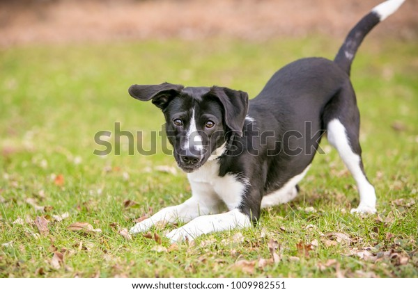 A playful black and white mixed breed dog, in a play bow position