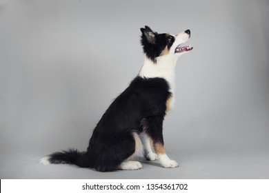Playful Border Collie shepherd pup sitting and looking to the side on grey studio background