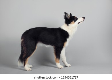 Playful Border Collie shepherd pup standing and looking to the side on grey studio background