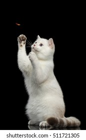 Playful British breed Cat White color with magic Blue eyes, stretched up, raising up paws, on Isolated Black Background