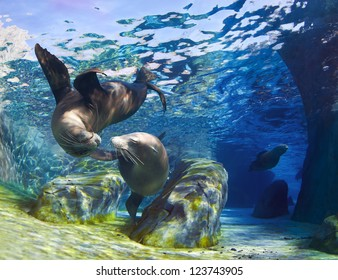 Playful California sea lions (Zalophus californianus) come together for a kiss underwater while another sea lion is swimming through the pathway in the background.