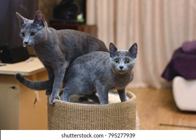 Playful cat breed Russian blue