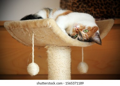 playful cat with green eyes rolling at a cat tree