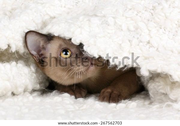 Playful cat hiding under a blanket on a white background