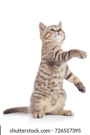 Playful cat kitten stands on its hind legs with paw up, isolated on white background
