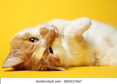 playful cat showing her paw and  lying on back with yellow studio background