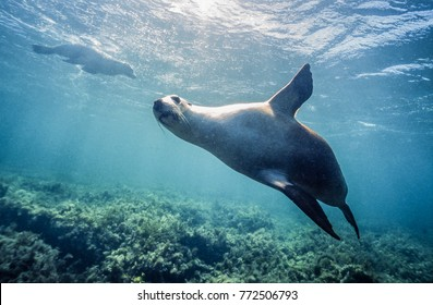 A playful and curious Western Australian sealion approaches the camera at Jurien Bay, Western Australia