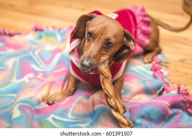Playful and cute dachsund wearing a red shirt skirt.