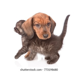 Playful dachshund puppy with kitten.  isolated on white background