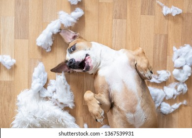 Playful dog among torn pieces of a pillow on the floor, top view. Funny staffordshire terrier having fun destroying homeware