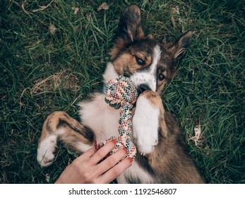 Playful dog playing with dog toy