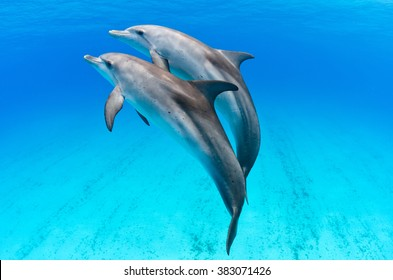 A playful dolphin duo in the seas of the Bahamas